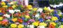 Vente de fleurs de Toussaint, au profit de l'école primaire de Murviel
